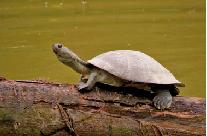 tortuga-de-rio-colombia.png