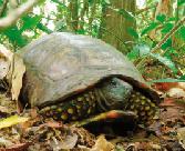 tortuga-de-tierra-colombia.png
