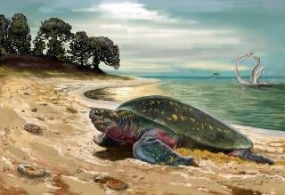 Fósil de tortuga marina más antigua descubierta en Villa de Leyva