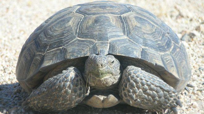 Foto de una tortuga del desierto en California (USA)l. Es de color marrón oscuro,  su piel y cabeza presentan escamas