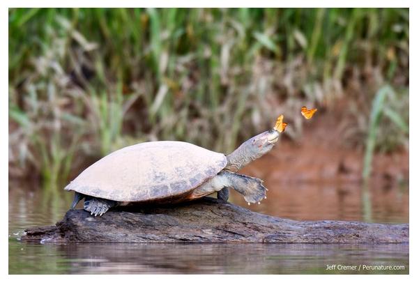 Foto de una tortuga de río sobre un tronco. con una mariposa naranja sobre su nariz y otra llegando a ella
