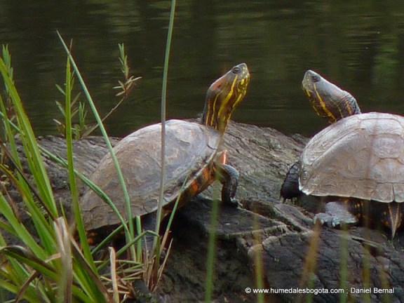Dos tortugas de río sobre un tronco, en un humedal de Bogotá.