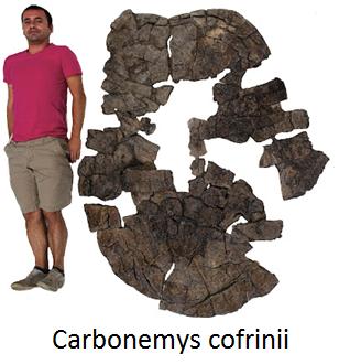 Tortugas de Colombia - Carbonemys Cofrinii