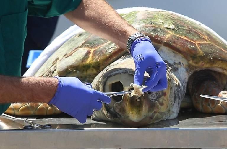 Foto del momento en el cual un veterinario extrae del cráneo de una tortuga con pinzas un trozo de plástico adherido a la cavidad nasal