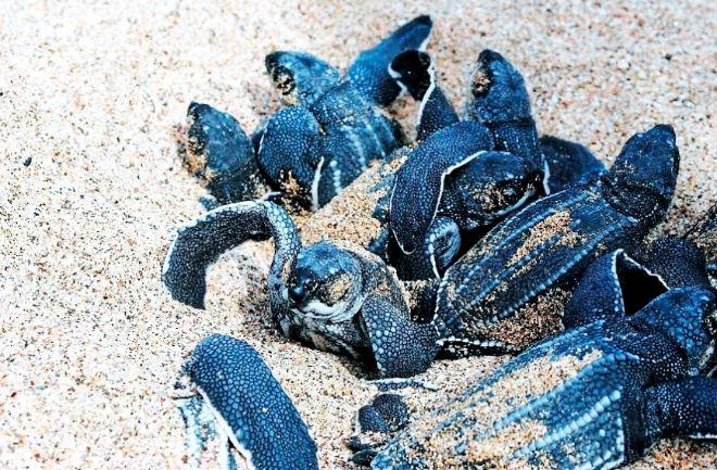 Tortugas Laud: Nómadas del océano
