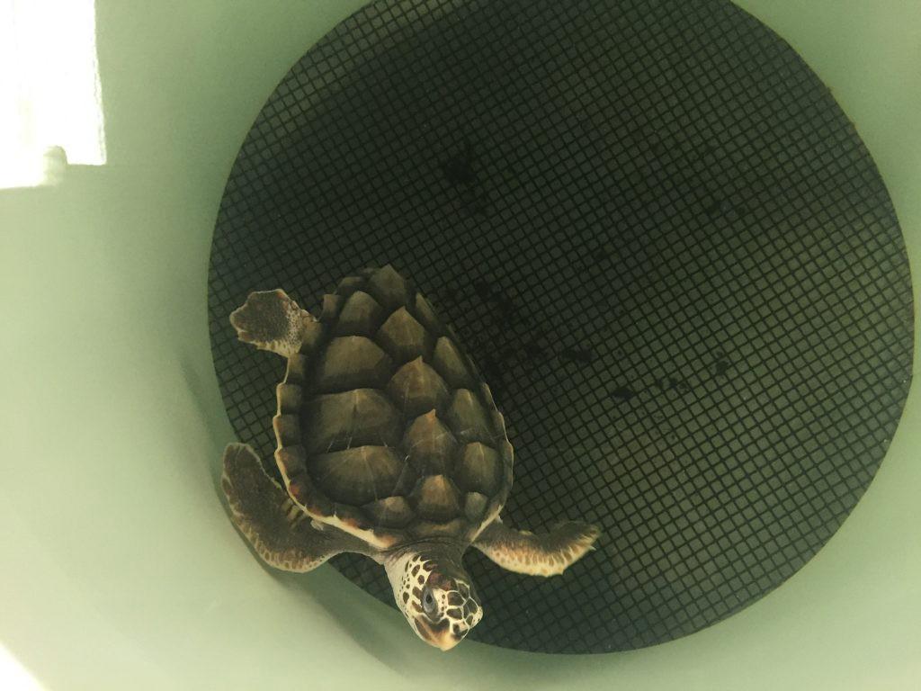 Tortuga Marina en la entrada del Dispositivo Excluidor de Tortugas
