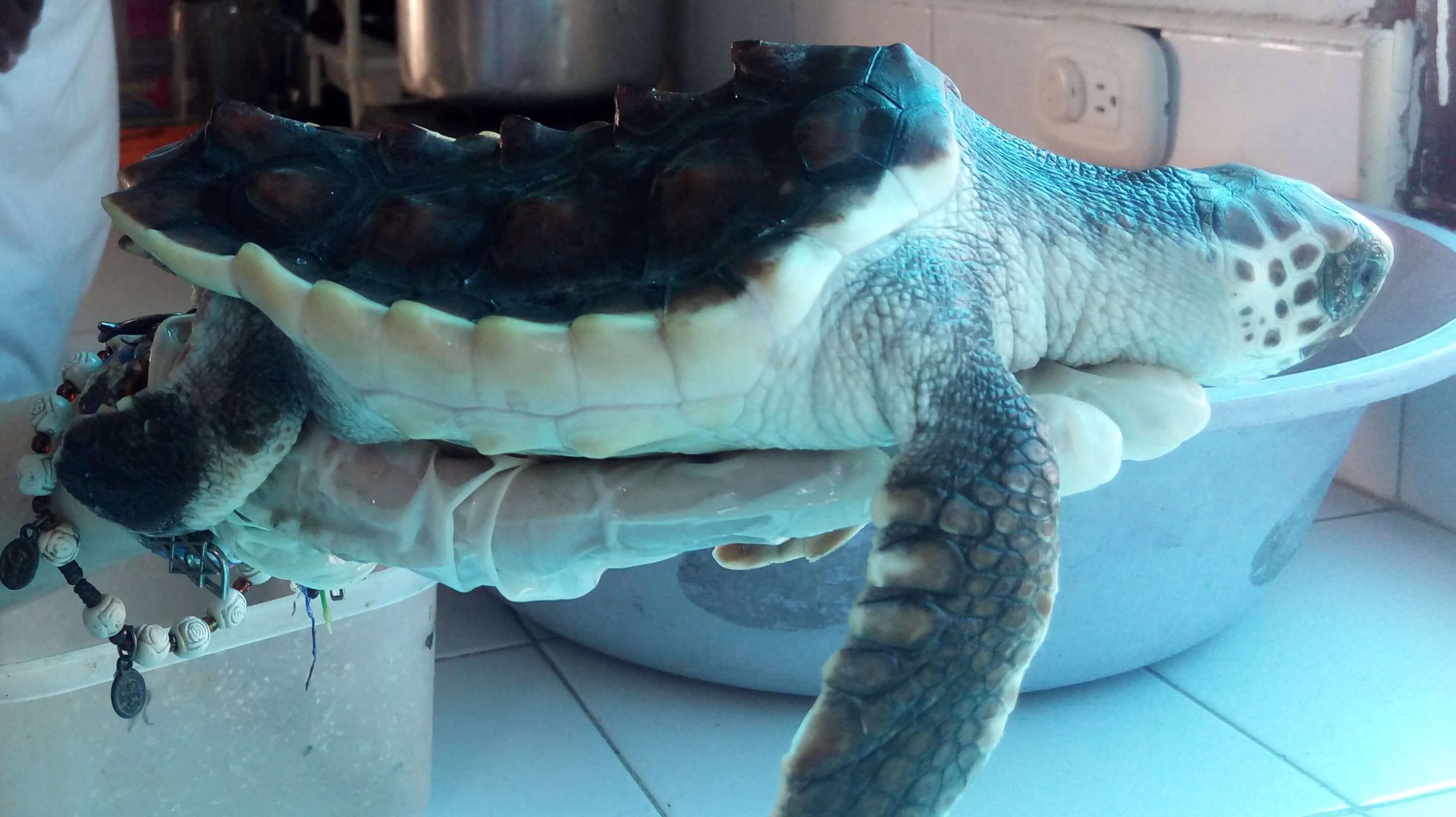 Foto lateral de la tortuga marina con caparazón cóncavo, está sobre la palma de una persona