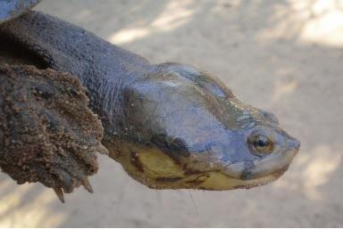 Tortuga Carranchina en peligro de extinción