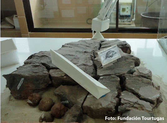 fosil-tortuga-marina-con-huevos-fundacion-tourtugas.png