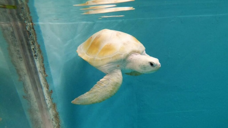 Rare-white-turtle-Maldives1.jpg