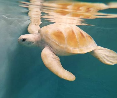 Rare-white-turtle-Maldives2.jpg