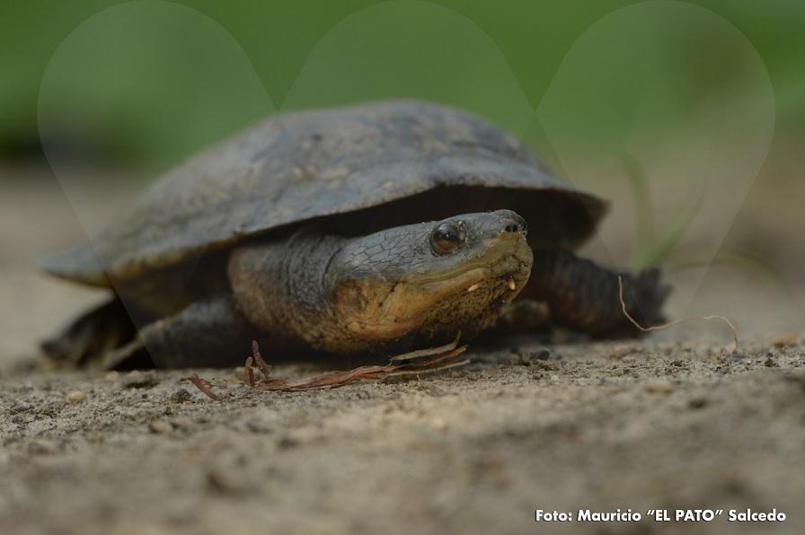 tortuga-carranchina-reserva-colombia.jpg