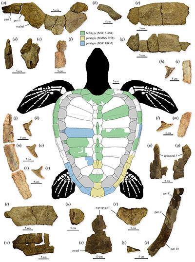 ilustracion-fosil-tortuga-marina75millionyea.jpg