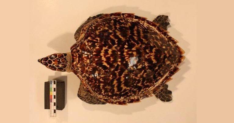 Fotografía dese la vista superior de una Eretmochelys imbricata, conocida como Tortuga carey, permite apreciar la tonalidad de su caparazón.
