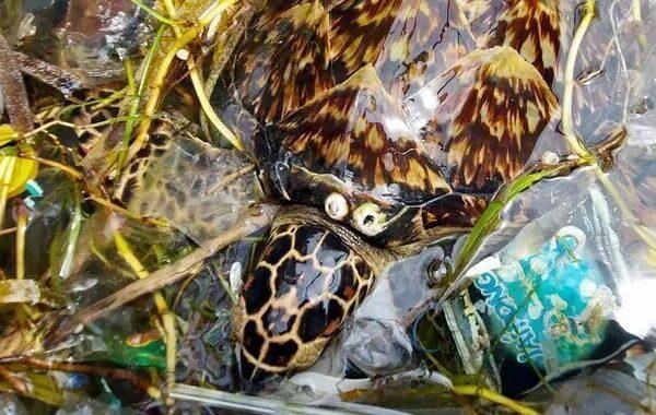 Foto de una tortuga carey nadando en medio de la basura.